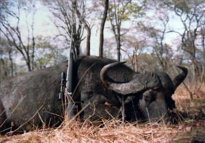 buffalo_800